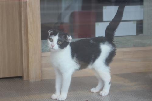 スコティッシュフォールドの子犬(ID:1232611019)の2枚目の写真/更新日:2019-06-12