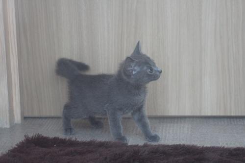 ロシアンブルーの子犬(ID:1232611021)の4枚目の写真/更新日:2019-08-14