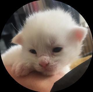 メインクーンの子犬(ID:1232911017)の1枚目の写真/更新日:2019-02-05