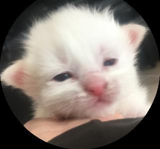 メインクーンの子犬(ID:1232911018)の1枚目の写真/更新日:2019-02-05
