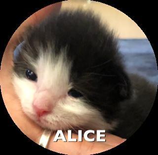 メインクーンの子犬(ID:1232911025)の1枚目の写真/更新日:2019-02-28