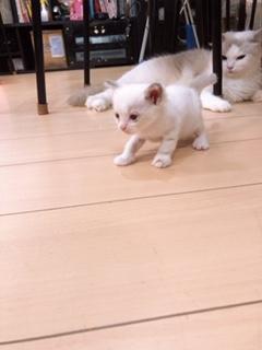 ラグドールの子犬(ID:1232911046)の1枚目の写真/更新日:2019-10-07