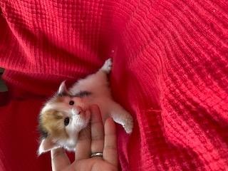 メインクーンの子犬(ID:1232911077)の1枚目の写真/更新日:2020-08-24