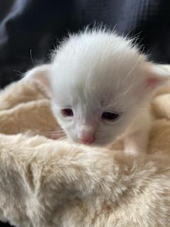 メインクーンの子犬(ID:1232911107)の1枚目の写真/更新日:2021-03-26