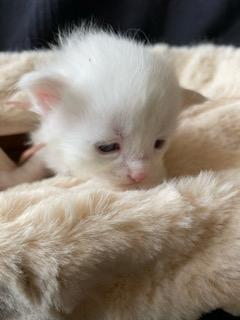 メインクーンの子犬(ID:1232911107)の2枚目の写真/更新日:2021-03-26